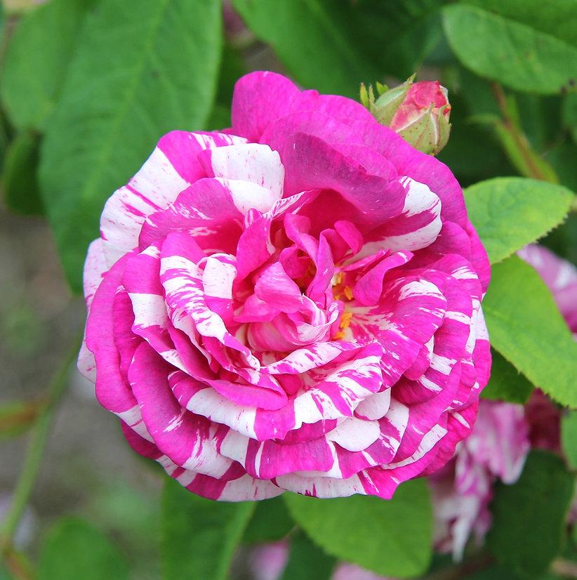 Rosa Gallica-r. 'Tricolore de Flandre' e