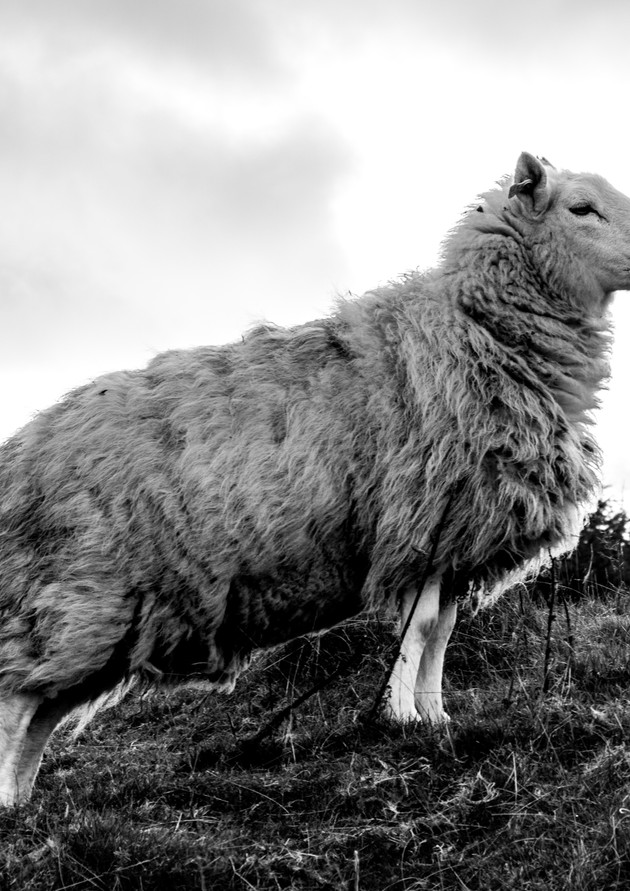 Sheep - Wicklow Mountains