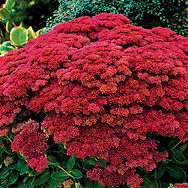 Autum joy, sedium is an easy to grow semi-evergreen plant with green leaves that is virtually maintenance free.  Blooms pink and deepen to rich bronze red with age.