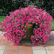 Tidal Wave petunias handle cold exceptionally well and often last through our winters here in North Texas.