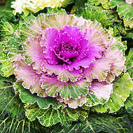 Technically, ornamental cabbage and kale are all kales (kales produce leaves in a tight rosettes; cabbages produce heads).