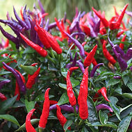 Onamental Peppers add splashy, red, purple, organge, black and white vibrant color to your landscape.