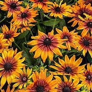 Echibeckia is a fast growing perennial flower with long lasting blooms available in yellow, orange and brown. Grows well in sun and blooms late summer and fall.
