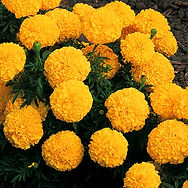Marigoldsare a popular annual flower that grow in nearly any soil types. Performs well from late summer up until frost.