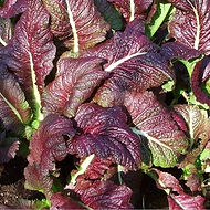 Ornamental red mustard green is so beautiful that it is often used just for its ornamental value and planted right beside the garden flowers.