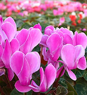 Cyclamen is a petiteflowering plantthat has sweet-scented blooms that grows quickly each fall.