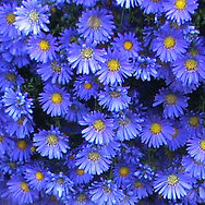 Plant Asters throughout your garden for lovely fall color, late September until frost.