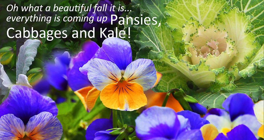 Pansies, Cabbages and Kale fall planting for season color in November, December, January and February.