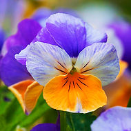 A cool-weather favorite, pansies are great for both spring and fall gardens! Good for containers, borders, and as ground cover, they are aflower for reliable color almost year-round.