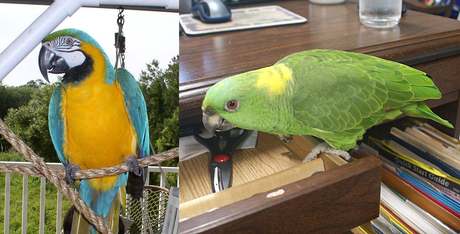 Charleston Pirate Tours Parrots: Capt. Bob, a blue and gold macaw and Doozer, a yellow-naped Amazon