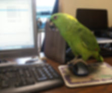 Parrot helping at Charleston Pirate Tours office