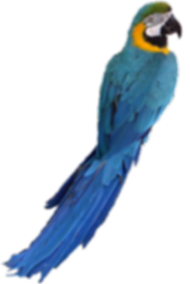 Captain Bob, the blue and gold macaw of Charleston Pirate Tours