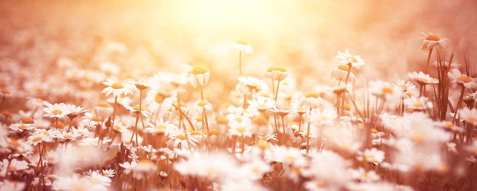 daisies banner 2250x900.jpg