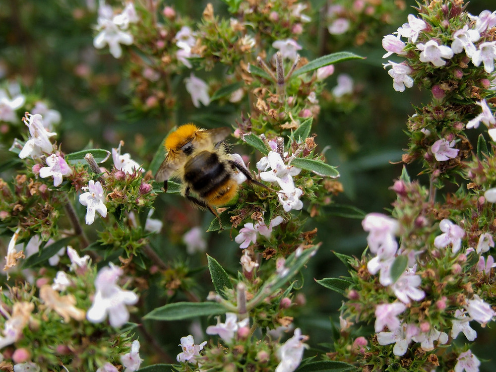 Winter savory (Satureja montana in Latin) in bloom with a bee