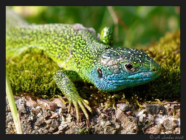 lacerta-viridis.jpg