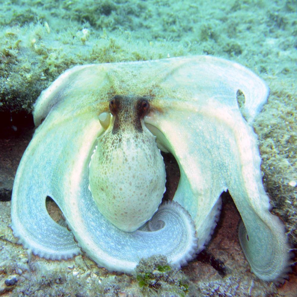 Croatia Kornati octopus