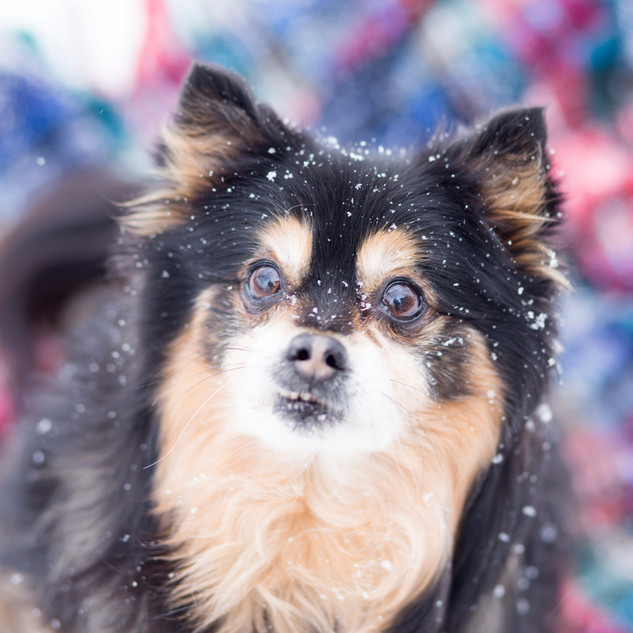 Bee-Marie-Photography-Critters-Willmar-MN-Minnesota-Winter-Snow-Dog-Puppy-Senior-Old-Pomeranian-Mozy-Cozy-Warm-Blanket-Plaid-