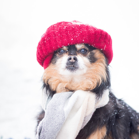 Willmar-Minnesota-Pet-Photography-Kandiyohi-Snow-Winter-Dog-BeeMariePhotography