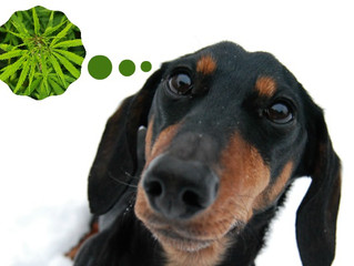 CBD Oil for you pet... how can it help?!