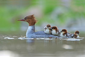 Loon carrying chicks.jpg