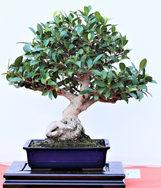 Luis Pastor - Ficus.jpg