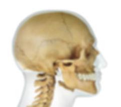 Cranium---SIde.jpg