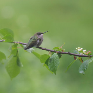 Hummingbird GEC_9439 Greg low res.jpg