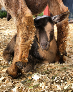 pastures and pine nigerian dwarf dairy goats