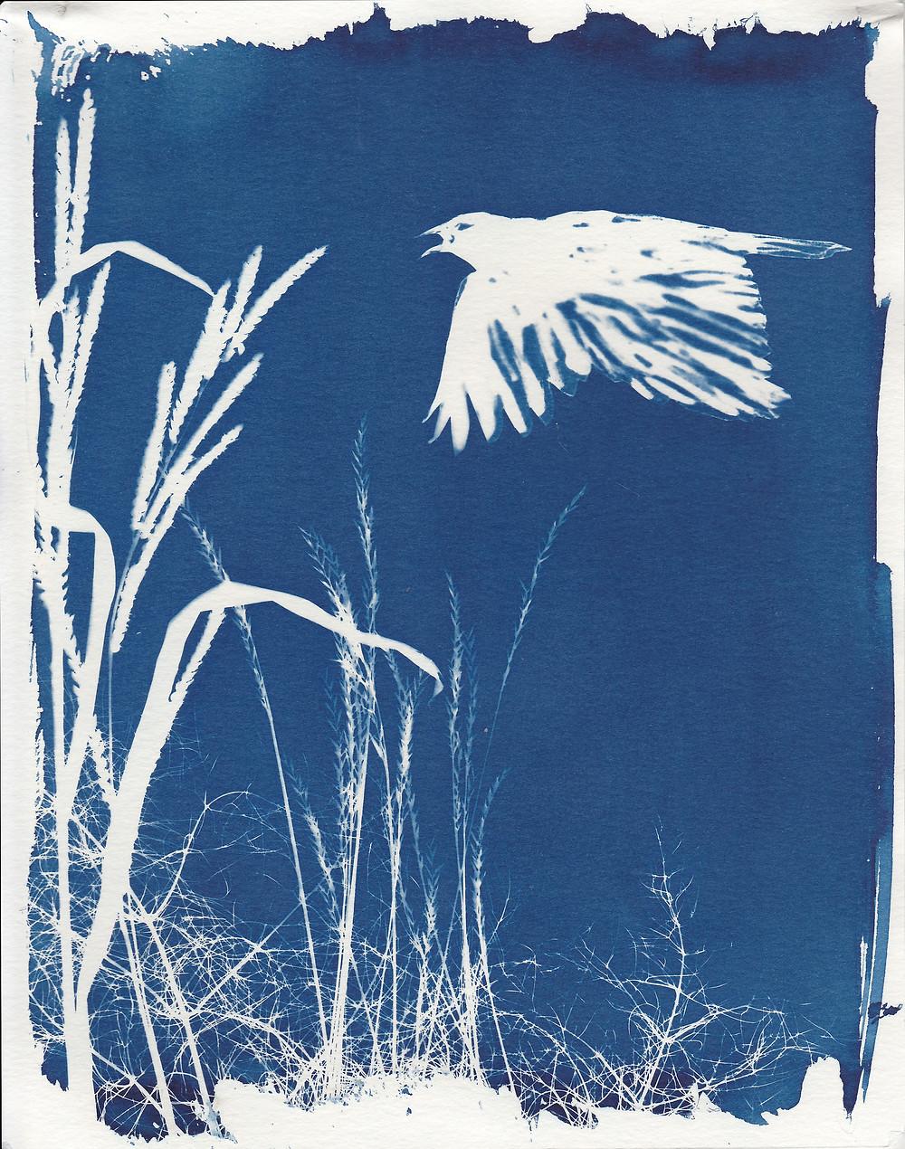 Flying Crow cyanotype