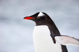 Winged waddler, Antarctica