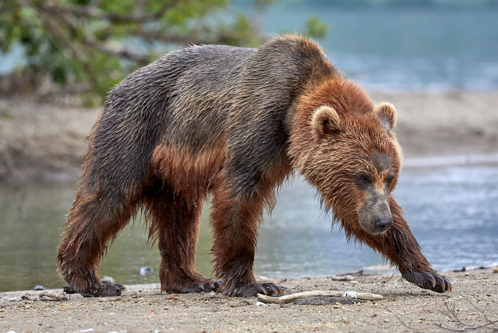 Brown black bear, Kurilskoye Lake Kamchatka
