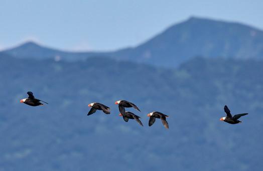 Puffin flock, Avachinsky Gulf Kamchatka