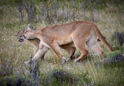 Puma smooch, Patagonia