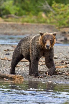 Chocloate bear, Kurilskoye Lake Kamchatka