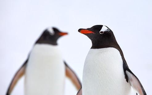 Gentoo pair, Antarctica