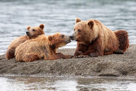Teddy bear's picnic, Kurilskoye Lake Kamchatka