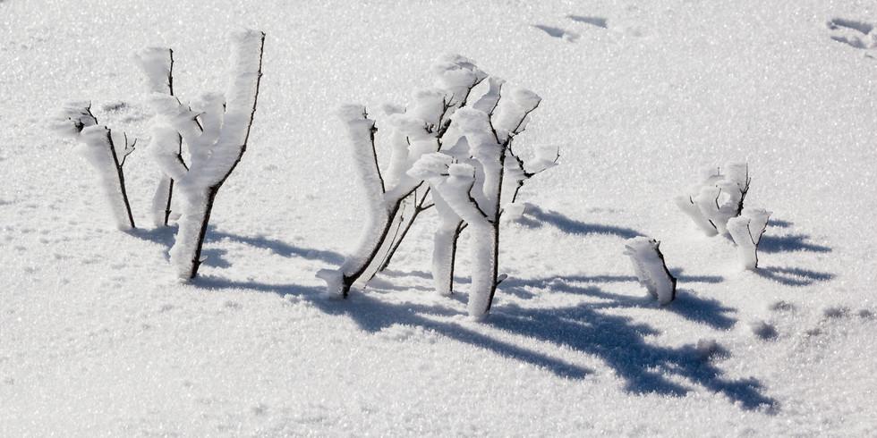 Frozen Mini Forest, Ben Lomond