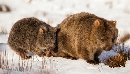 Wombat-0217.jpg