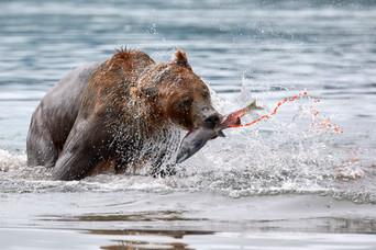 The spoils of victory, Kurilskoye Lake Kamchatka