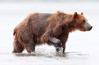 On the hunt, Kurilskoye Lake Kamchatka