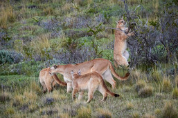 Learning to hunt, Patagonia