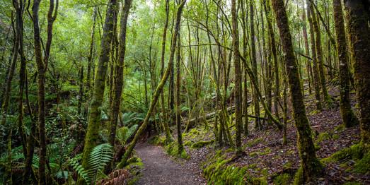 Rainforest Walk, Mt Field