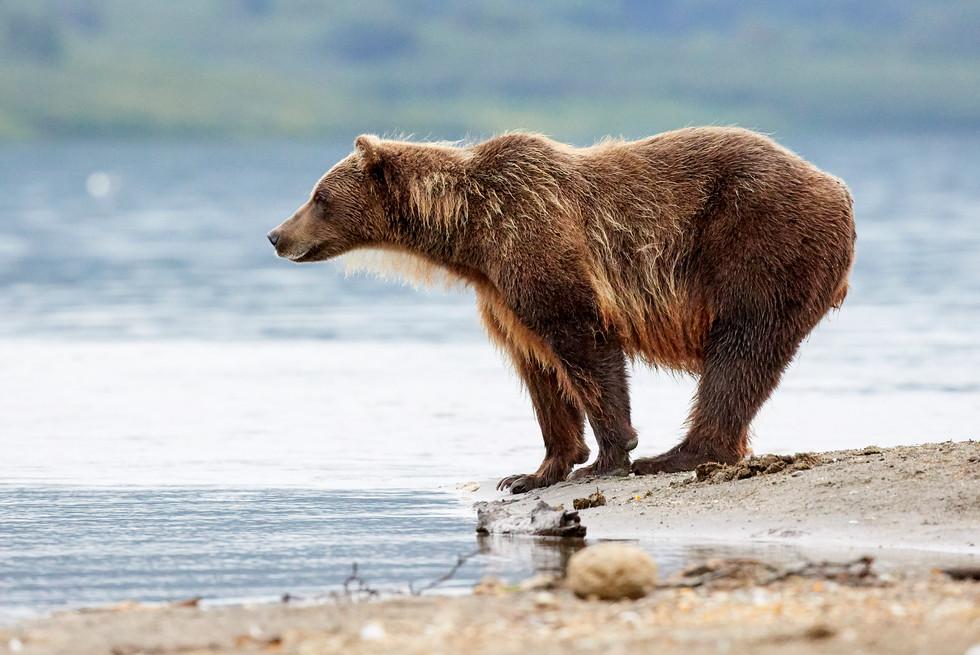 Searching for dinner, Kurilskoye Lake Kamchatka