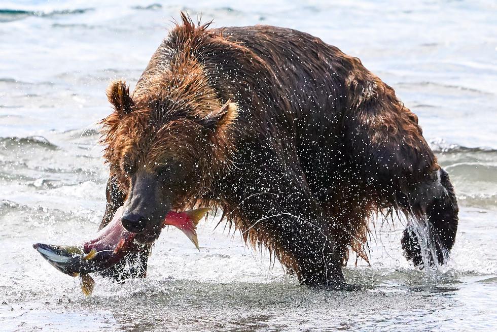 The catch, Kurilskoye Lake Kamchatka