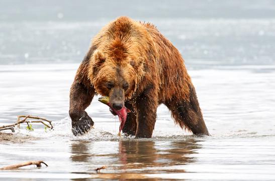 The fisher bear, Kurilskoye Lake Kamchatka