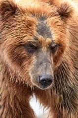 Bear intensity, Kurilskoye Lake Kamchatka