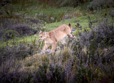Puma run, Patagonia