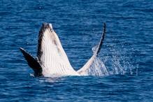 Whale_Hervey Bay-1802.jpg