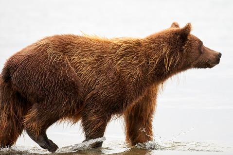 Silent stalker, Kurilskoye Lake Kamchatka