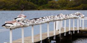 Pelicans-6118.jpg